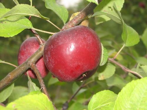 pmme macintosh 500x375 Apple sengage à planter un pommier pour chaque produit vendu